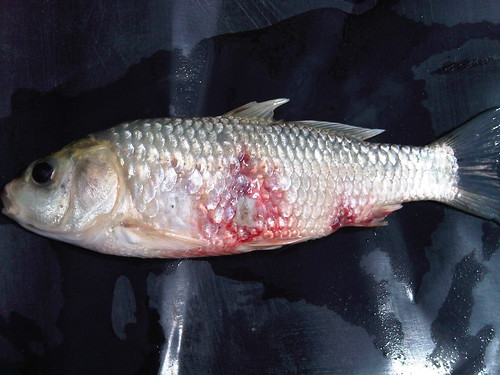 Khv images frompo for Koi fish parasites