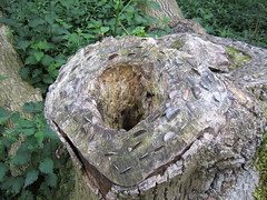 woodland, tree stump, tree, trunk,