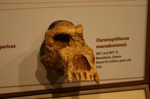 Oranopithecus macedoniensis