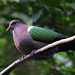 Emerald Dove - Photo (c) David Cook, some rights reserved (CC BY-NC)