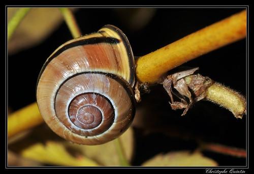 Cepaea nemoralis (Escargot des bois)