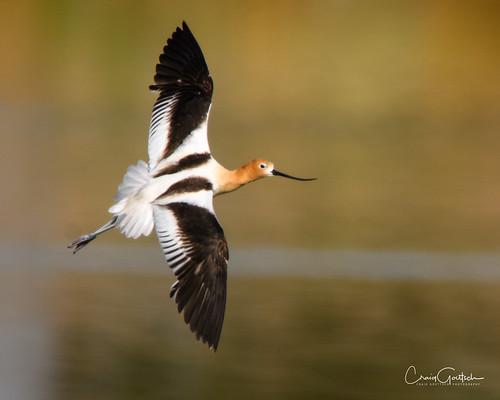 americanavocetrecurvirostraamericana hendersonbirdviewingpreserve2017 avian bird nature wildlife water reflction nikon d500
