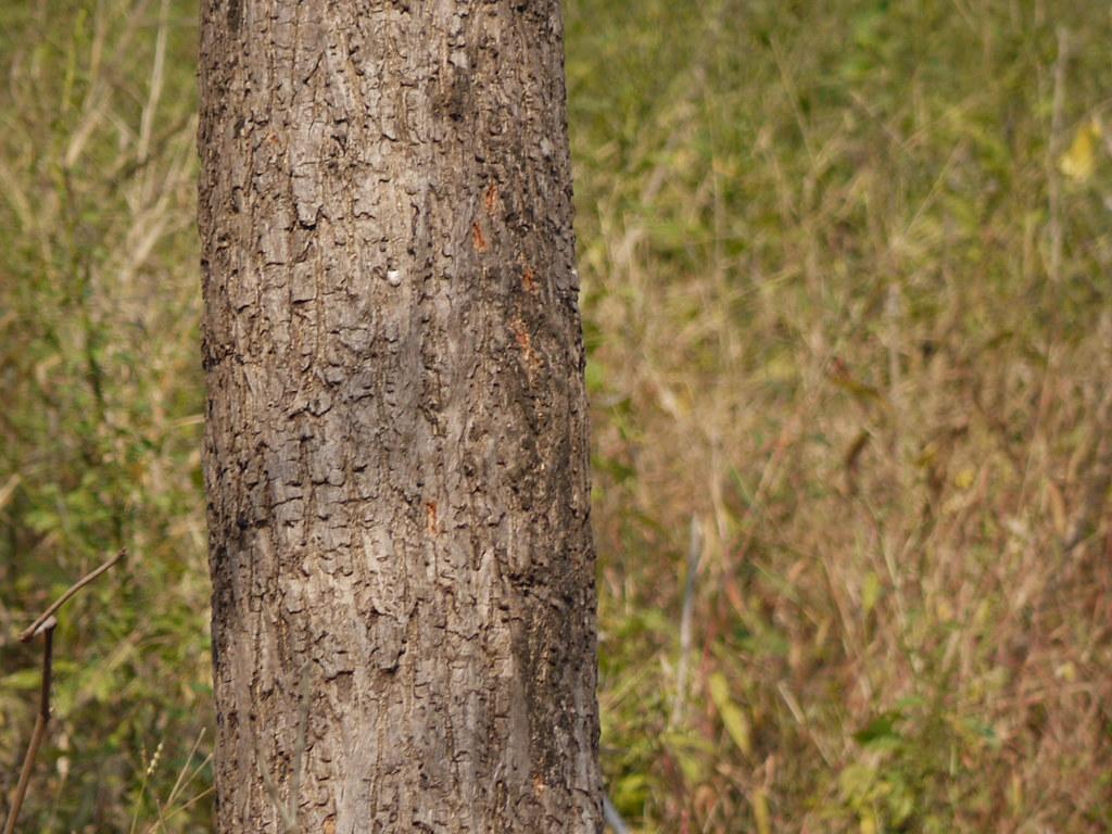 Bombax insigne - efloraofindia