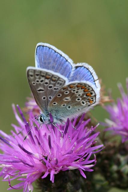 Common blue @ nectar station