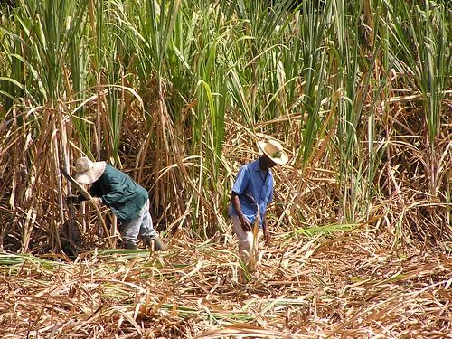 sugar cane cutter