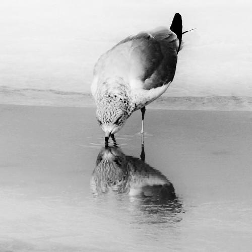 blackandwhite bw reflection bird ice water connecticut seagull gull drinking newengland ct rockyneck eastlyme blackwhitephotos mywinners giantonio kgiantonio kengiantonio