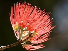 183_3910  Metrosideros excelsa  Pohutakawa  NZ Christmas Tree  Myrtaceae