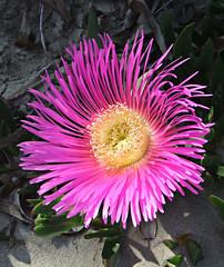 dorotheanthus bellidiformis(0.0), annual plant(1.0), flower(1.0), plant(1.0), karkalla(1.0), macro photography(1.0), flora(1.0), ice plant(1.0), petal(1.0),