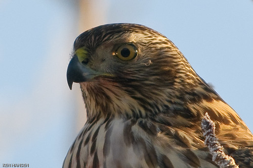 Northern Goshawk portrait