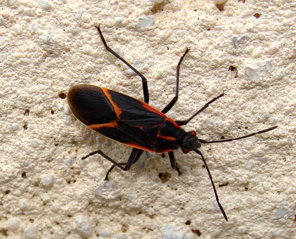 black and red bug on concrete flickr photo sharing. Black Bedroom Furniture Sets. Home Design Ideas