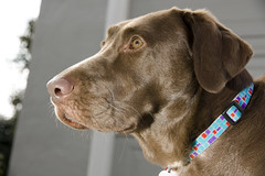 dog breed, labrador retriever, animal, dog, pet, mammal, weimaraner,