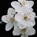 Prunus cerasifera #3 by J.G. in S.F.