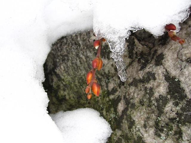 Weeping Kilmarnock Willow under melting snow.
