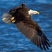 Bald Eagle - one flap down