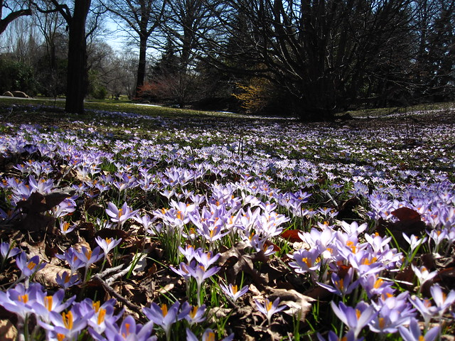 A field of crocus. Photo by Rebecca Bullene.