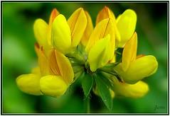 1117-Lotus corniculatus