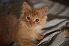 domestic long-haired cat, animal, kitten, small to medium-sized cats, pet, cat, carnivoran, whiskers, somali,