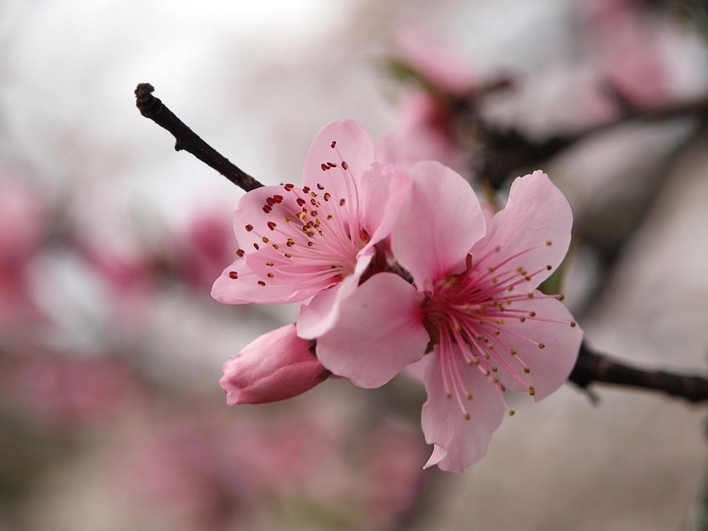 Pink Japanese Cherry Blossom Paint On Pinkish Canvas