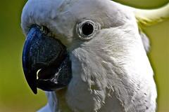 macaw(0.0), wing(0.0), cockatoo(1.0), animal(1.0), pet(1.0), sulphur crested cockatoo(1.0), fauna(1.0), close-up(1.0), beak(1.0), bird(1.0),