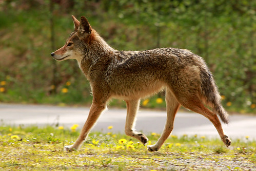 """Coyote Princess"" Pacific Spirit Coyote Walking Along Wesbrook Mall at the University of British Columbia in Vancouver BC 08Apr2010"