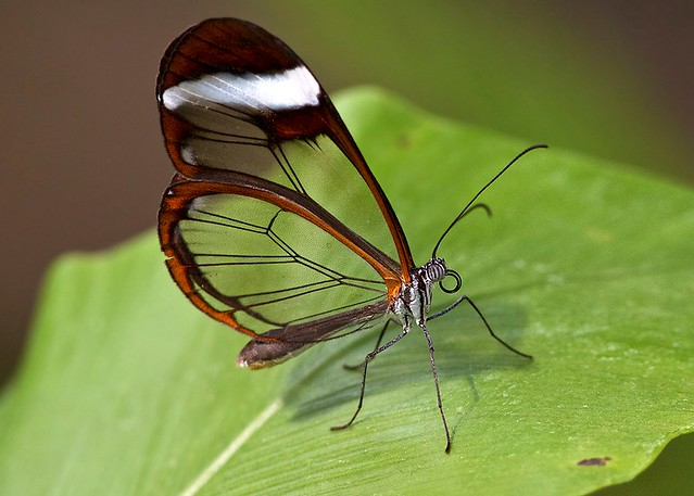 Chester Zoo - Glasswing Butterfly