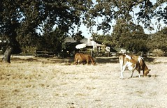 cattle-like mammal, farm, ranch, herding, landscape, cattle, pasture, rural area,
