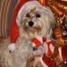 Mika als Weihnachtshund