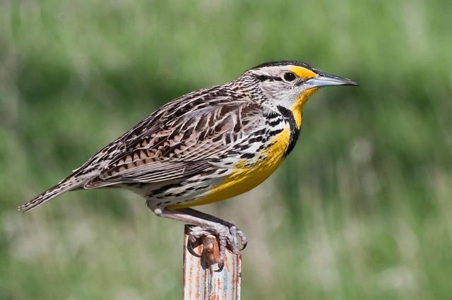 Meadowlark Nebraskas State Bird Flickr Photo Sharing