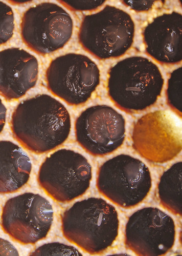 In the hive 9: eggs and larvae