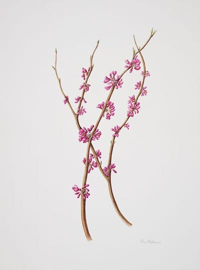 "Rose Pellicano, Cercis chinensis, 2006.  Watercolor on Lanaquarelle, 14"" × 11"". © Copyright Brooklyn Botanic Garden"