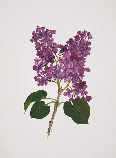 "Mary Ryniec, Syringa vulgaris 'Congo', 2006.  Watercolor on paper , 14"" × 11"". © Copyright Brooklyn Botanic Garden"