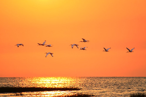 sunset wild usa reflection bird gulfofmexico nature water birds animal animals boat flying tour gulf florida wildlife birding sunsets aves ibis creation boating northamerica fl creatures creature tours fla birdwatching cedarkey whiteibis animalia levy eudocimusalbus goldenhour allrightsreserved 2010 bif boatride audubon birdwatcher gulfcoast copyrighted cedarkeys chordata ibises canonef75300 canoneos30d michellepearson naturecoast whiteibises mickip mickip65 05212010 20100521 may212010 052110 img0037422