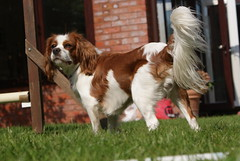 welsh springer spaniel(0.0), brittany(0.0), phalã¨ne(0.0), papillon(0.0), dog breed(1.0), animal(1.0), kooikerhondje(1.0), dog(1.0), pet(1.0), mammal(1.0), king charles spaniel(1.0), drentse patrijshond(1.0), spaniel(1.0), cavalier king charles spaniel(1.0),