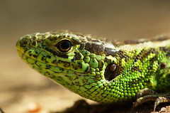snake(0.0), mamba(0.0), lacerta(0.0), dactyloidae(0.0), animal(1.0), green lizard(1.0), reptile(1.0), lizard(1.0), macro photography(1.0), gecko(1.0), green(1.0), fauna(1.0), close-up(1.0), scaled reptile(1.0), wildlife(1.0),