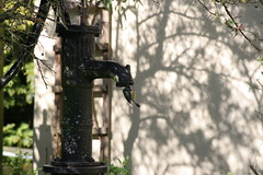 Blue tit in ornamental garden pump(1) by Peter E Bird