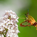 Hummingbird Clearwing - Photo (c) David Joly, some rights reserved (CC BY-NC-ND)