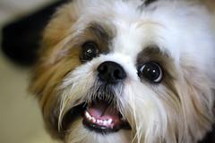 dog breed, animal, dog, pet, mammal, japanese chin, chinese imperial dog, shih tzu,