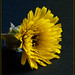 Cerraja borde  (reichardia tingitana)