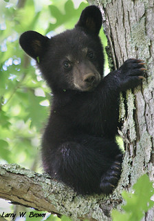 Black Bear Cub - Shenandoah National Park