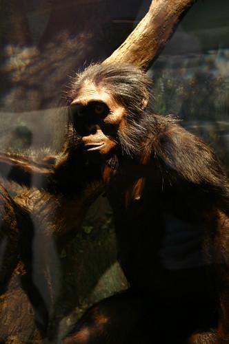 """Australopithecus afarensis, """"Lucy"""""""