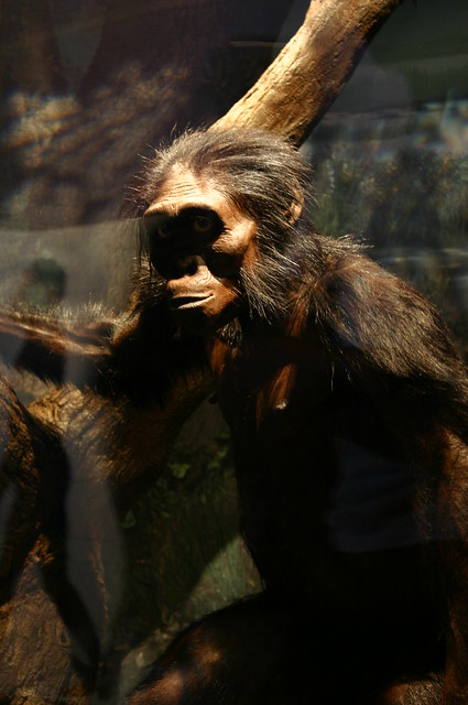 "Australopithecus afarensis, ""Lucy"" 