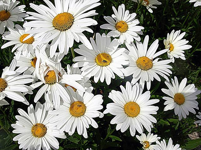 2017-07-03 daisies(20), Nikon COOLPIX L5
