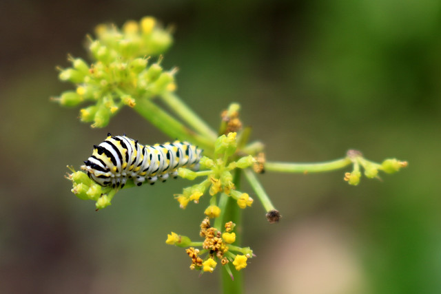 large, mostly white caterpillar, with black and yellow stripes, along a flower stem with its mouth at the blossom
