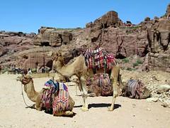 Tourist Camels