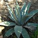 Small photo of Agave