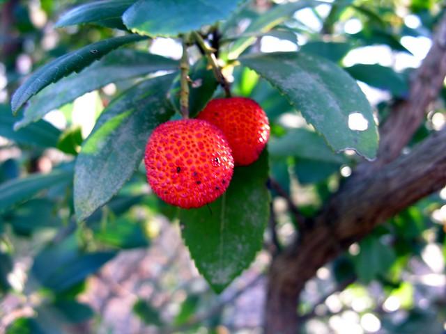 Arbutus Unedo Fruit