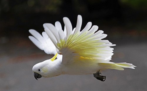 Sulphur-crested Cockatoo : In flight.