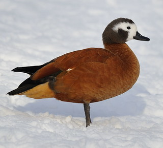 Winter Ruddy Shellduck