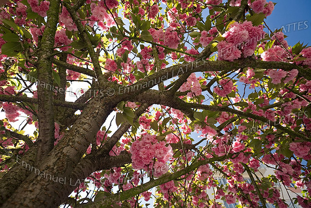 cerisier du japon prunus serrulata kanzan en fleur au. Black Bedroom Furniture Sets. Home Design Ideas
