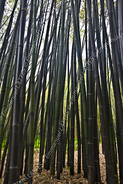 for t de bambous g ants noirs phyllostachys nigra. Black Bedroom Furniture Sets. Home Design Ideas